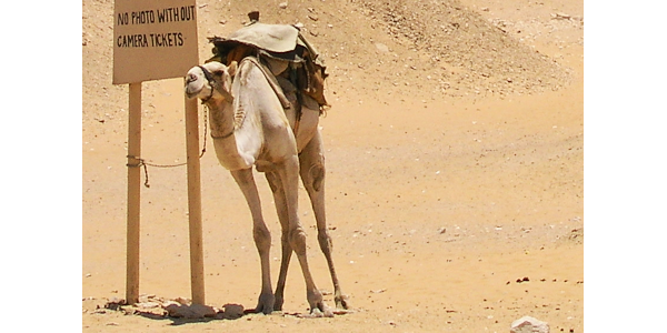 Camel with a message